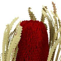 Banksia Hookerana rot 7St