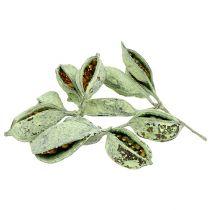 Brachyciton Grün gefrostet 500g
