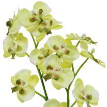 Mini Orchidee Hellgrün mit Erdball 30cm