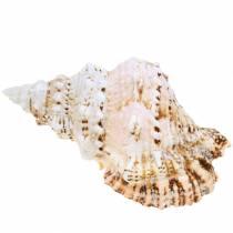 Meeresschnecke Riesenfroschschnecke Natur 18-20cm