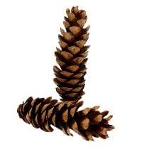 Strobus Zapfen 20 - 25cm lackiert 50St