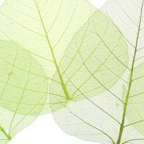 Willowblätter skelettiert Grün sortiert 200St