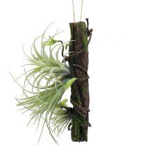 Wurzel mit Tillandsien zum Hängen 26cm