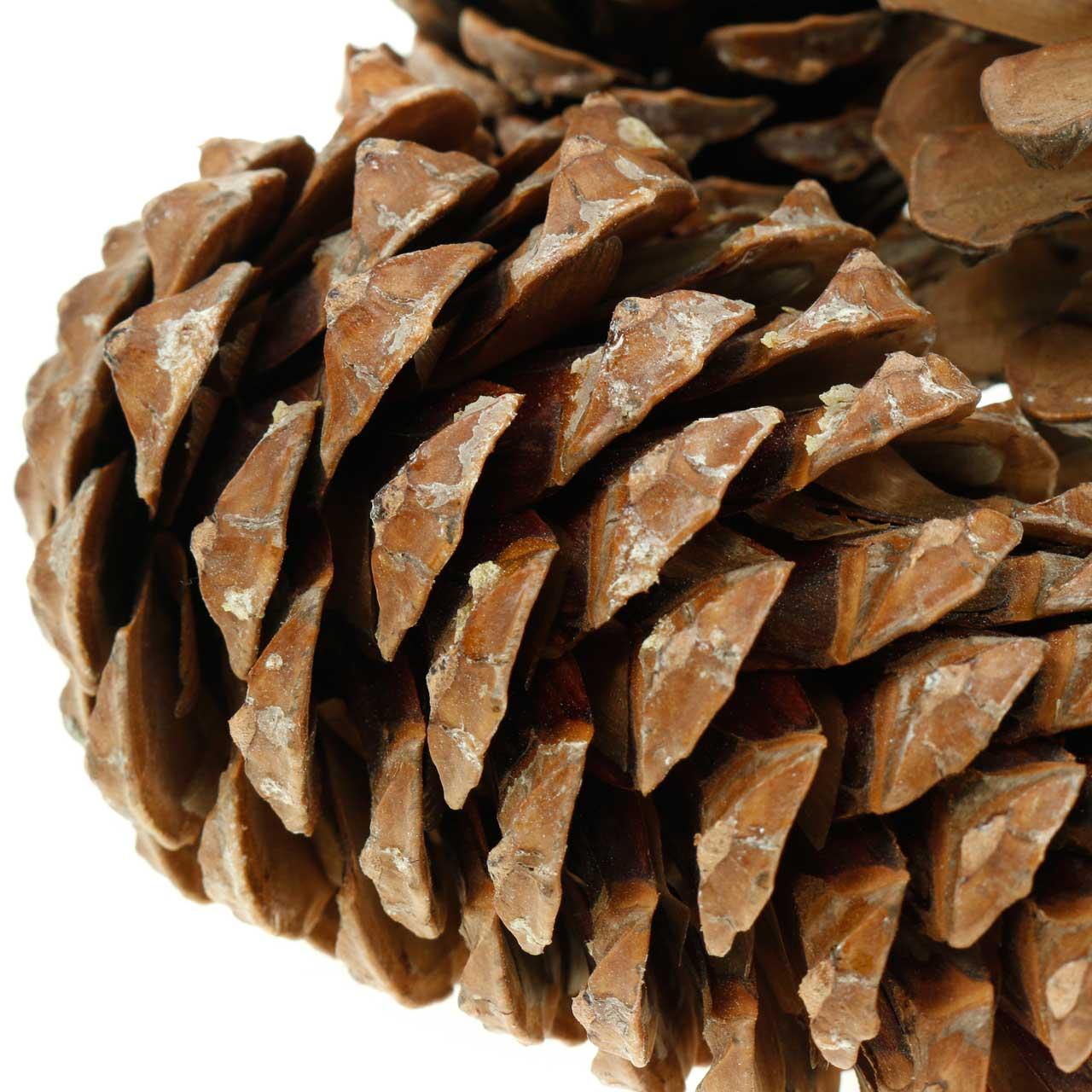 Pinus Pinea groß 14/18cm Natur 50St
