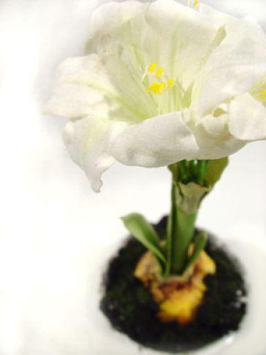 amaryllis im topf 28 cm wei kaufen in schweiz. Black Bedroom Furniture Sets. Home Design Ideas