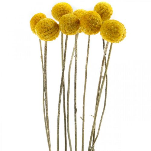 Trockenblume Craspedia Gelb getrocknet Trommelstöckchen Bund