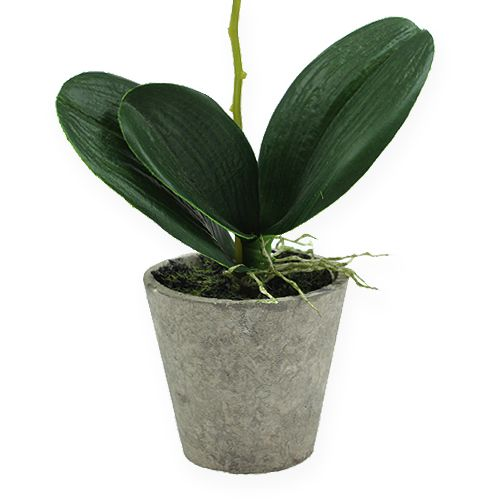 orchidee im topf hellgr n 26cm kaufen in schweiz. Black Bedroom Furniture Sets. Home Design Ideas